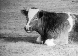 La-Vache-Qui-Rumine