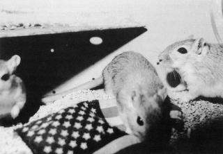 Rat-Life
